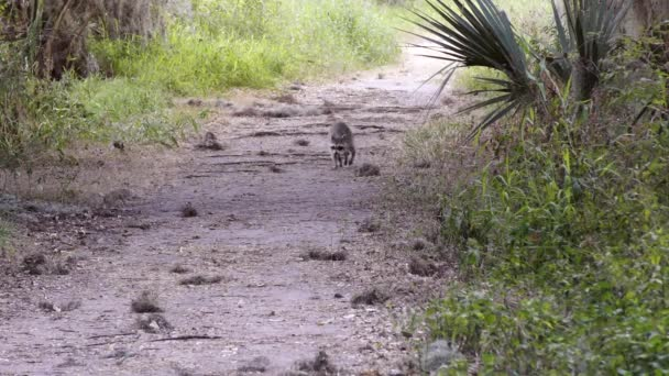 wild raccoon walking on a trail