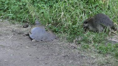 young raccoon is trying to steal the turtle eggs