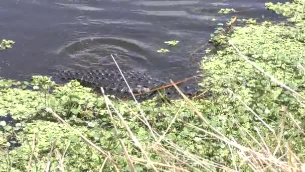large alligator fishing in a pond