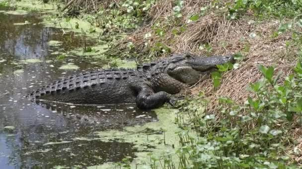 Large alligator comes out of water