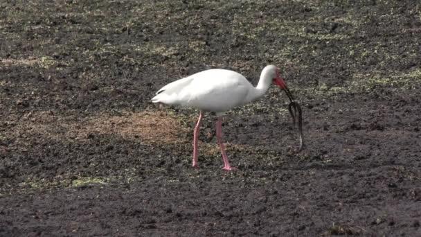 White Ibis eating a snake