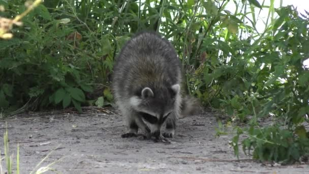Raccoon eating fish near lake