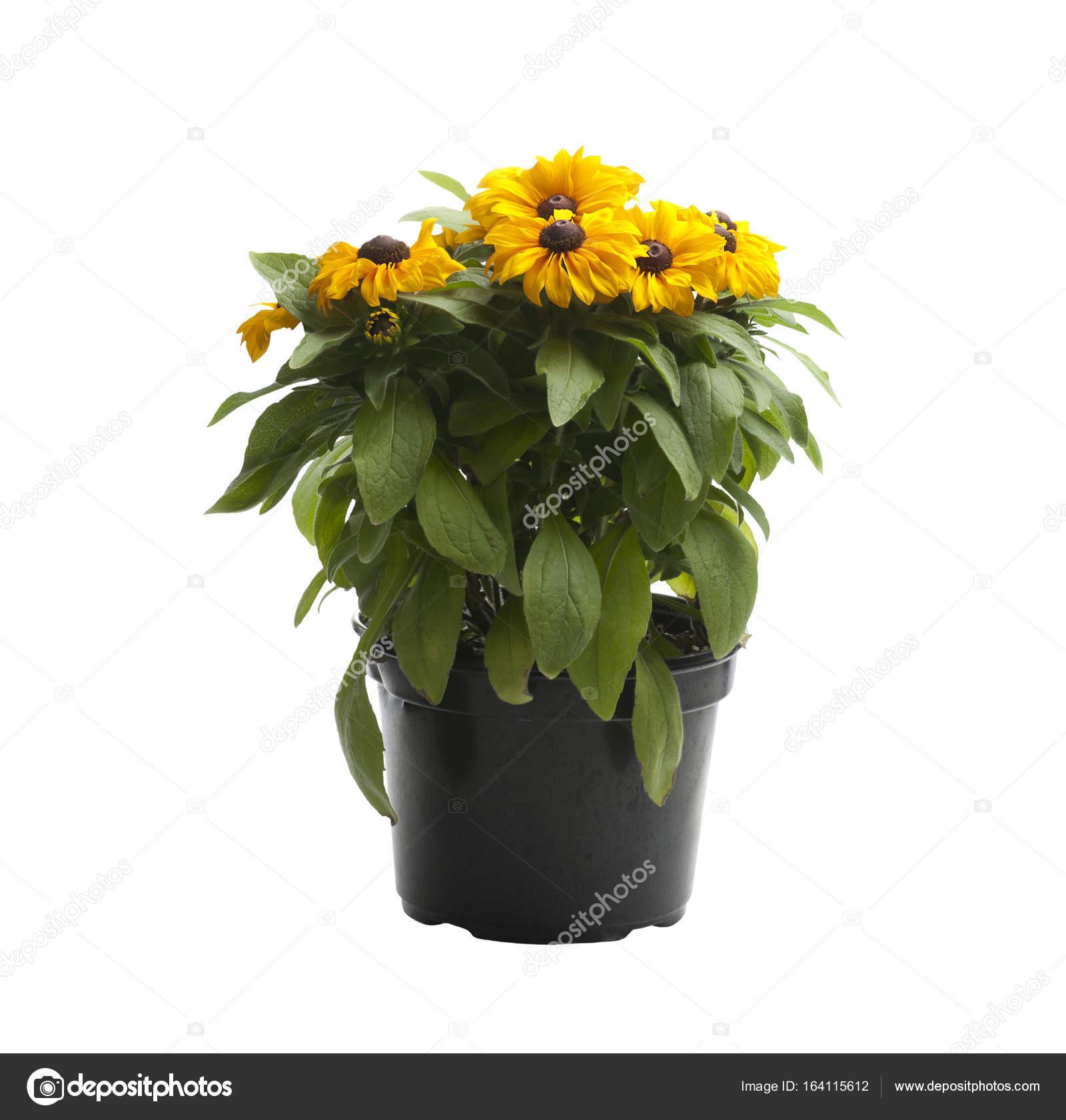 Yellow Flowers In A Pot Stock Photo Svetas 164115612