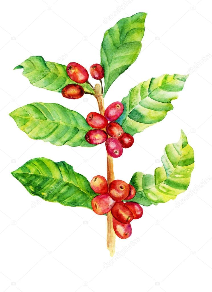 Red coffee arabica beans watercolor illustration