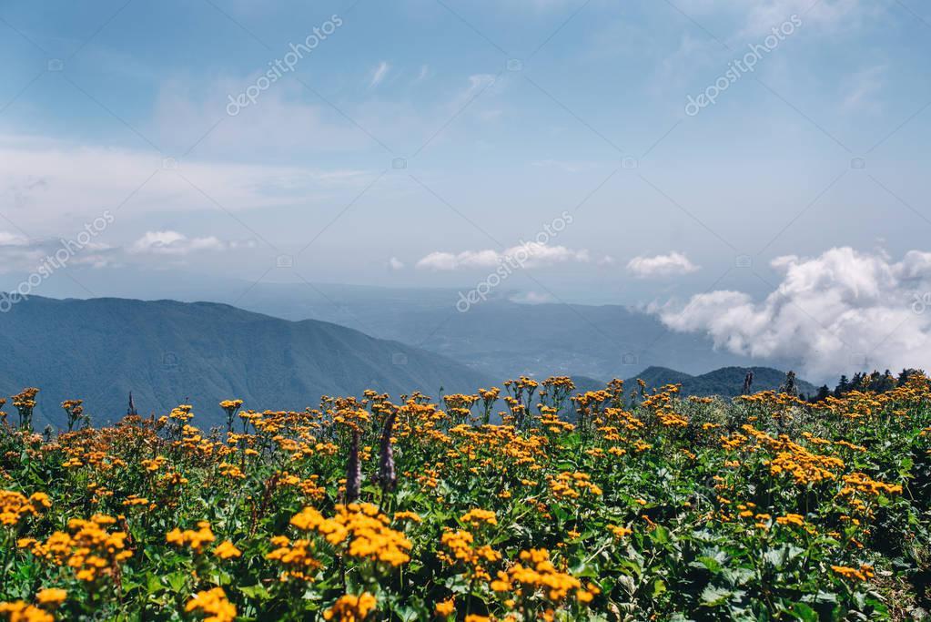 mountain yellow flowers