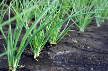 onion plantation after the rain