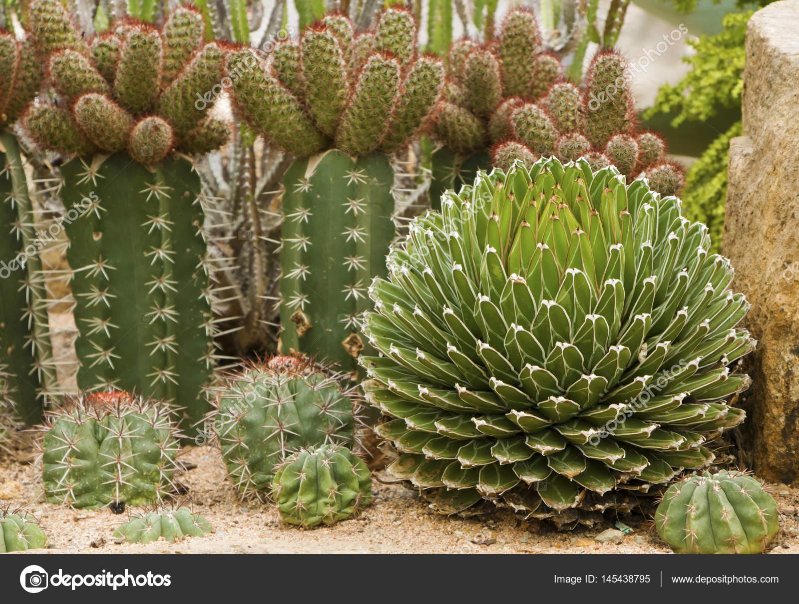 Muchos tipos de cactus foto de stock catinsyrup 145438795 for Tipos de cactus
