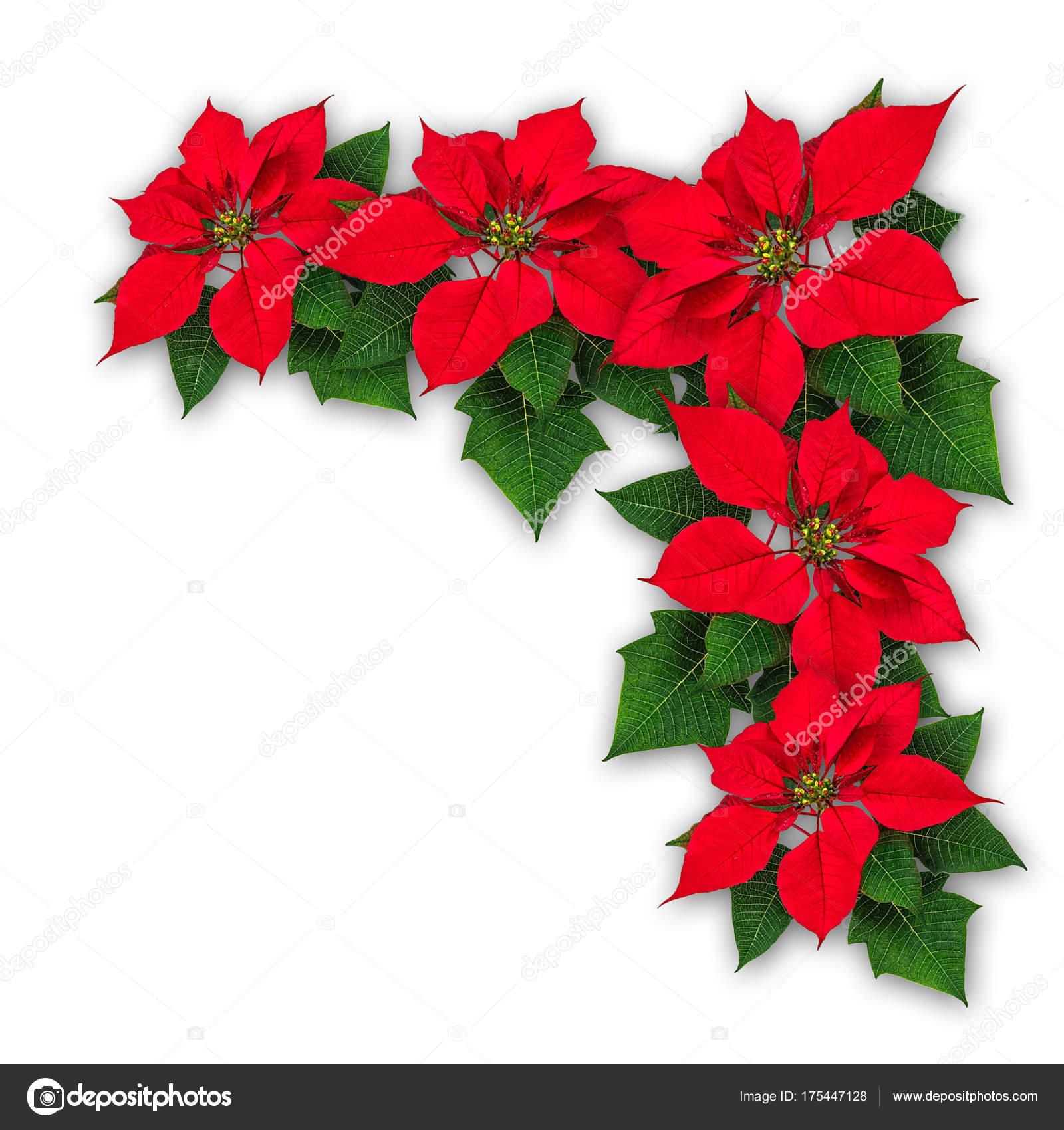 Decorazione Di Natale Dei Fiori Del Poinsettia U2014 Foto Stock