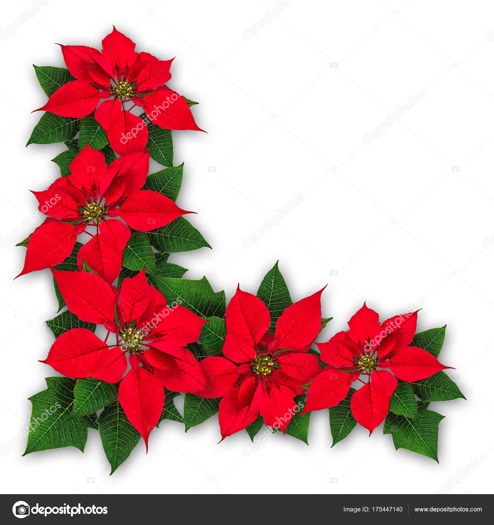 Poinsettia Flowers Christmas Decoration Stock Photo C Agcuesta1 175447140