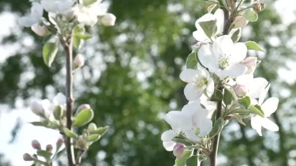 Spring Apple tree flowers blossom timelapse, close up.