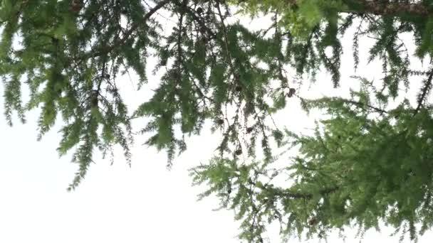 A fenyőtűk fényes ága a nyári erdőben. Fenyőág az erdőségben