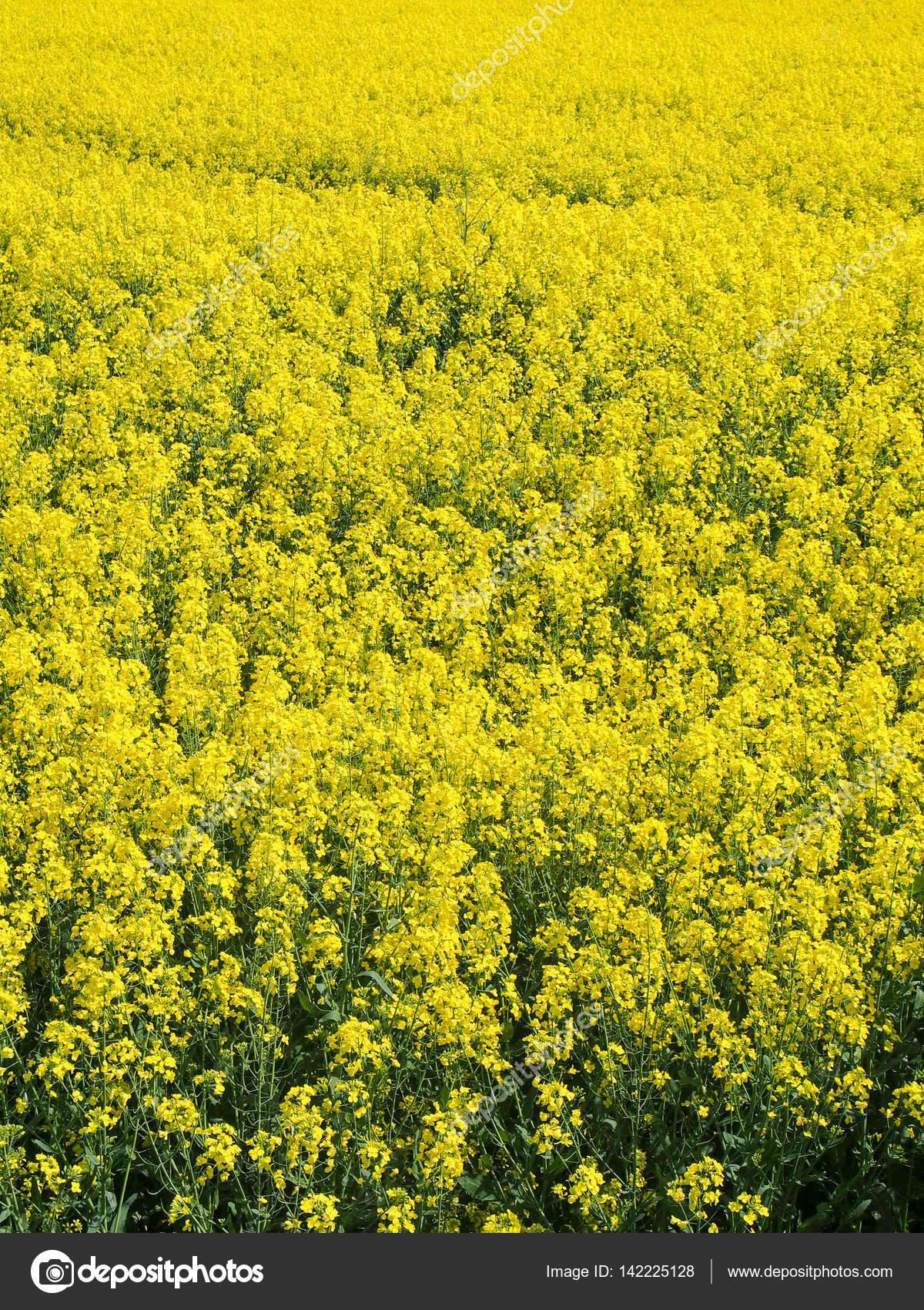 Fiori Gialli Coltivati.Bright Yellow Field Of Rapeseed Flowers Stock Photo