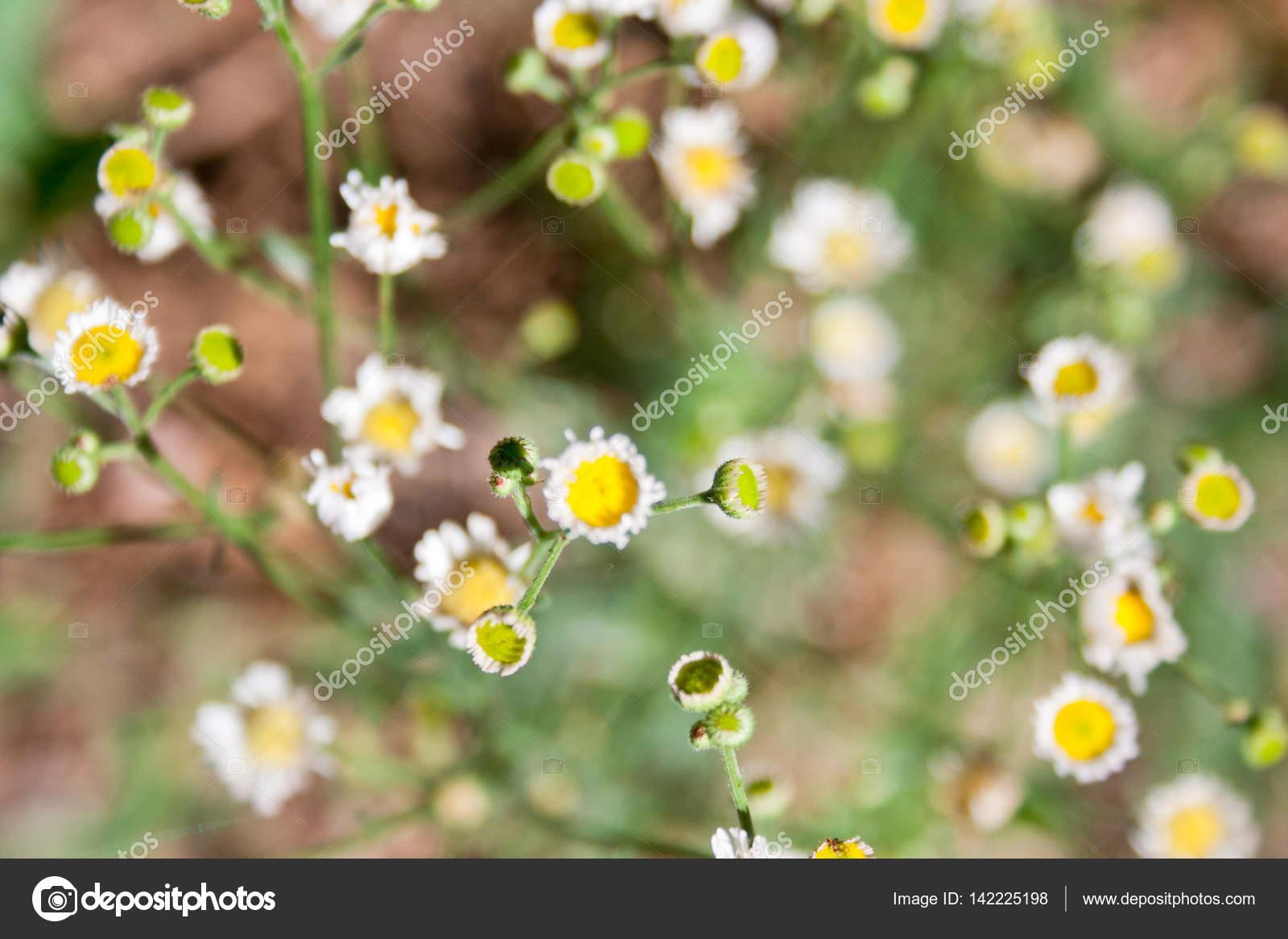 Enfoque Suave Pequenas Flores Silvestres Amarillas Y Blancas Fotos