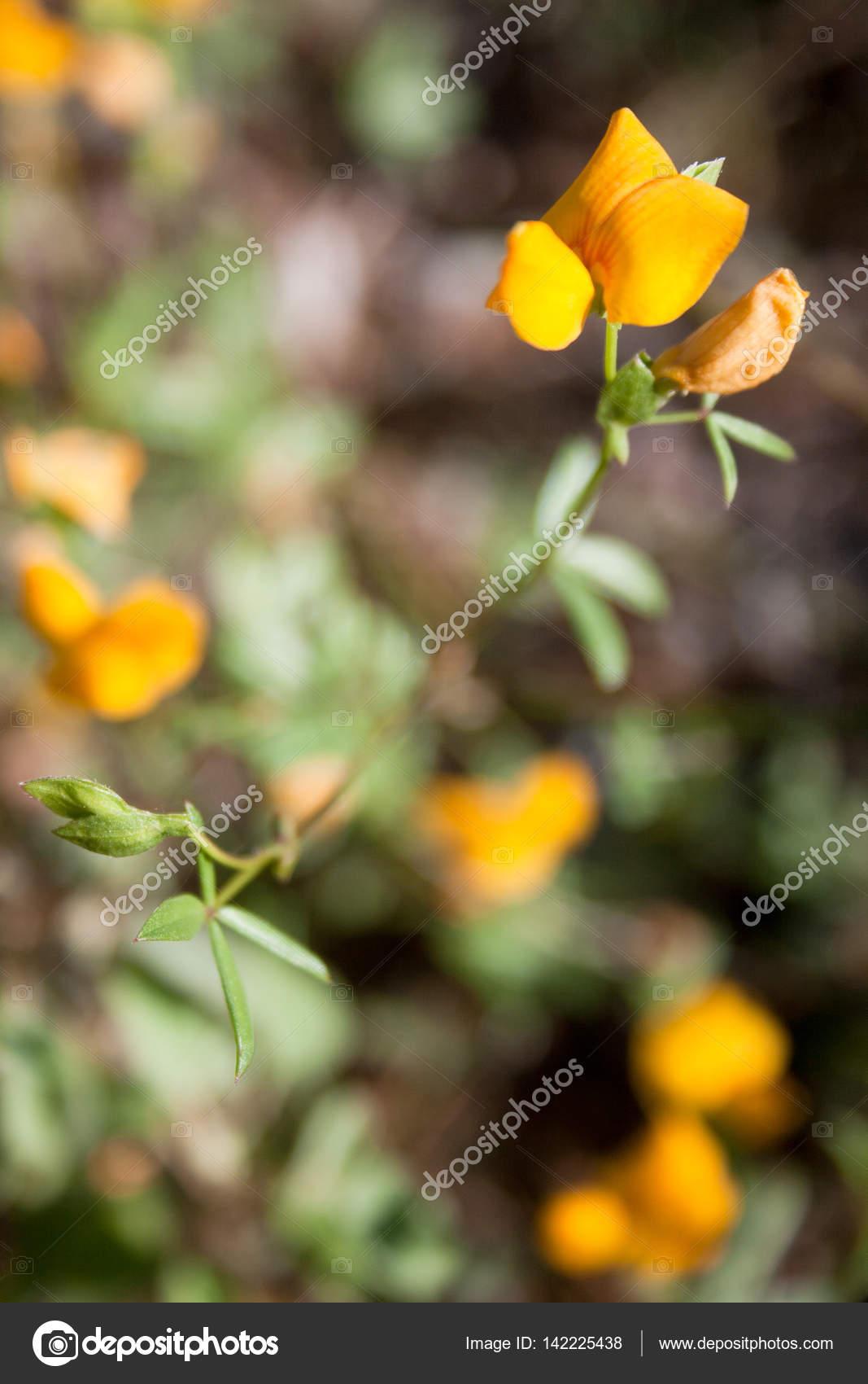 Yellow Wild Pea Flower In Texas Stock Photo Nikkigensertgmail