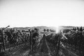 Fotografia bellissimi vigneti in Toscana