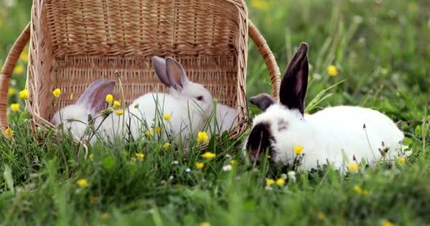 Zlato bílé králíky spring Green grass pozadí