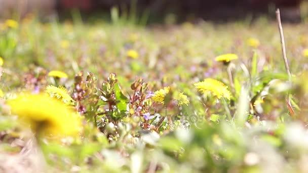 Žlutých pampelišek taraxacum officinale v zelené trávě. Zblízka. Létající hmyz.