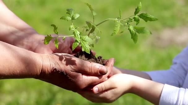 Idős nő és baby gazdaságban a fiatal növény természetes zöld háttér tavasszal kezében. Ökológia fogalma