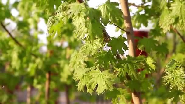 Pobočka čerstvé zelené javorové listy close-up