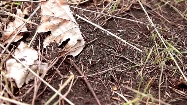 Anthill, red wood ants close-up.