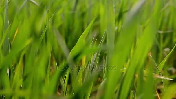 Detail jasně zářivé zelené trávy. Přírodní pozadí abstraktní zelené trávy a krásy stírat bokeh. Selektivní fokus zblízka pro abstraktní rozmazaný v záběru.