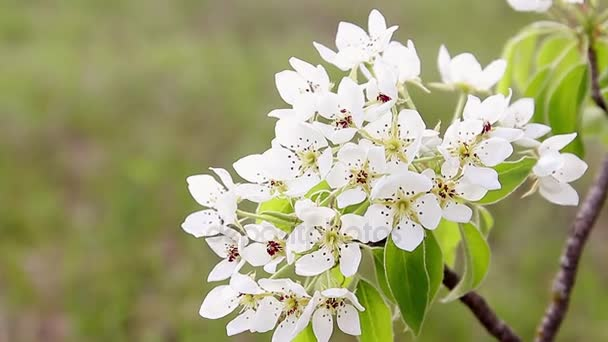 Spring blossom background - abstract floral border of green leaves and white flowers. Fruit tree blossom close-up.