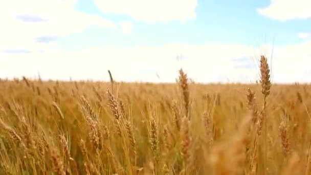 Wheat field and blue sky with clouds. Gold wheat field and blue sky.