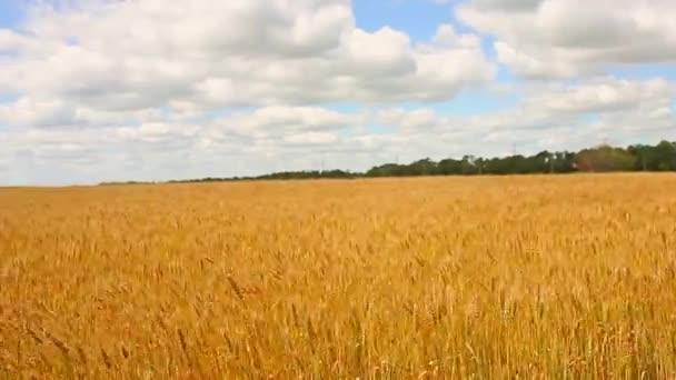 Búza mező, és a kék ég, a felhők. Arany Búzamező és a kék ég.