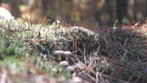 Gomba forest egyre. Cep őszi gomba. Gomba, szedés