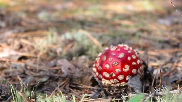 Közeli kép a Amanita mérges gomba a természetben. Mérges gomba, közelről, egy mérges gomba a erdő hely másolás.