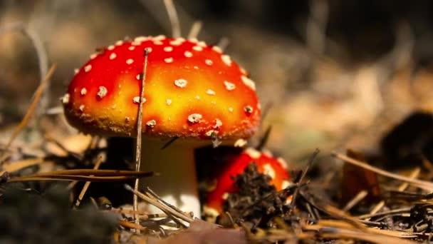 Nahaufnahme eines giftigen Amanita-Pilzes in der Natur. Fliegenpilz, Nahaufnahme eines giftigen Pilzes im Wald mit Kopierraum.