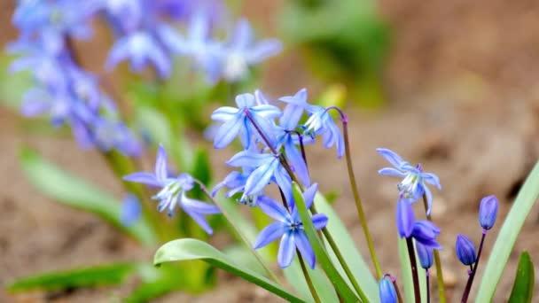 První jarní květy modré sněženky v lese. Krásné jarní květiny v přírodě.