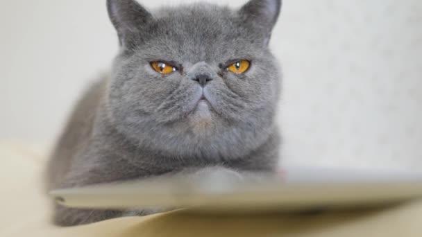 Šedá krátkosrstá kočka s velkýma žlutýma očima zblízka.