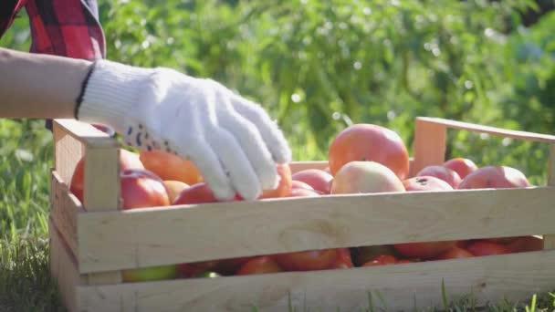 Farmářské ruce drží několik zralých rajčat v dřevěné krabici. Sklizeň zeleniny.