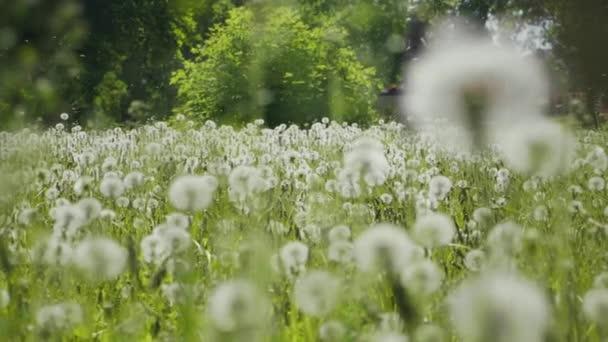 grüne Wiese mit weißem Löwenzahn. Frühling Wald Wiese Blumen Landschaft.