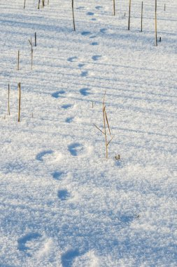 traces of a hare in the snow. hunting season is open. search for prey hunter on the trail. tracing animals in the winter on the tracks in the snow