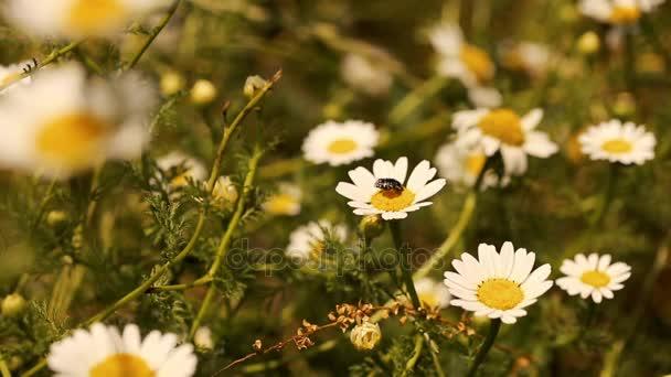 brouk na daisy