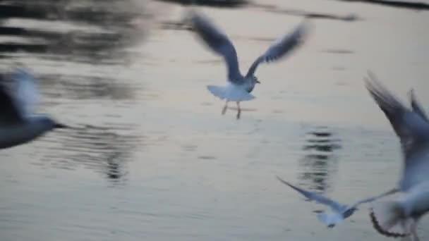 Rackové létají nad vodou řeky - boj o jídlo