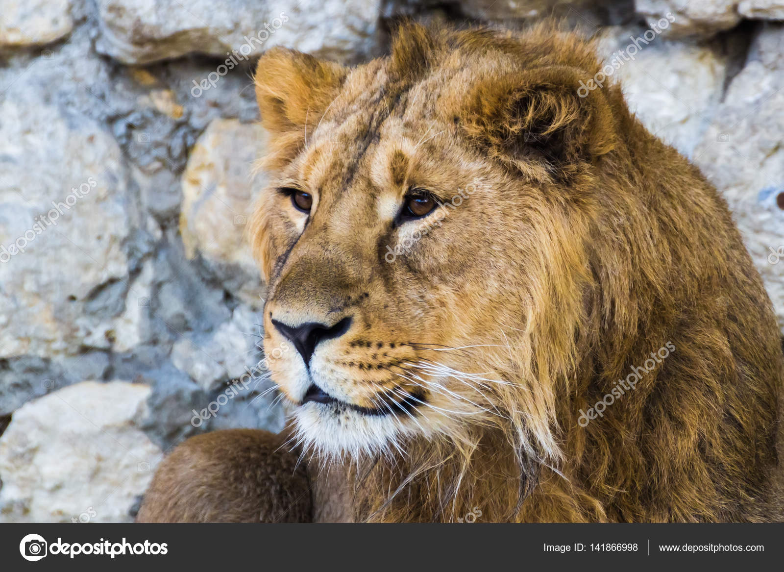 the asiatic lion The barbary lion was a panthera leo leo population in north africa that is regionally extinct today  it falls into the same phylogeographic group as the asiatic lion the barbary lion was also called 'north african lion', 'berber lion', 'egyptian lion', and 'atlas lion.