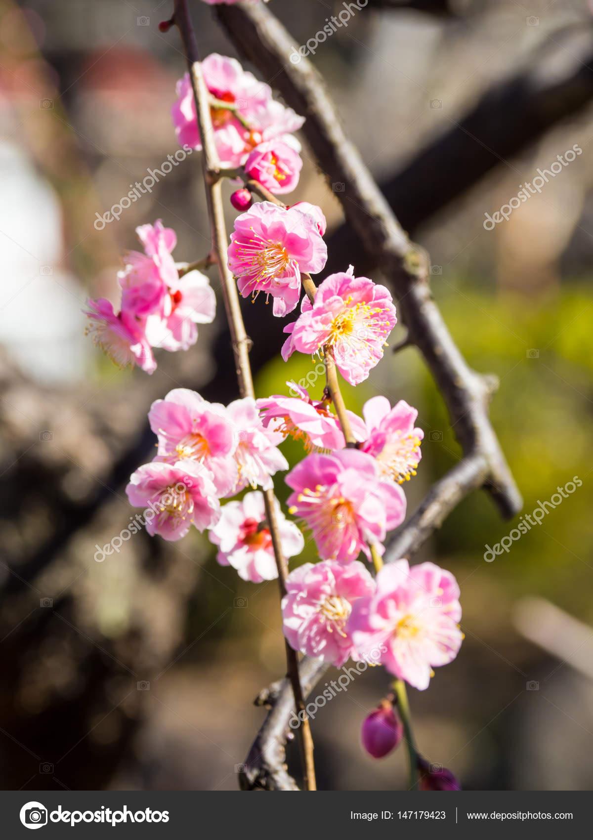 Fleur De Prunier Au Japon Photographie Kawamura Lucy C 147179423