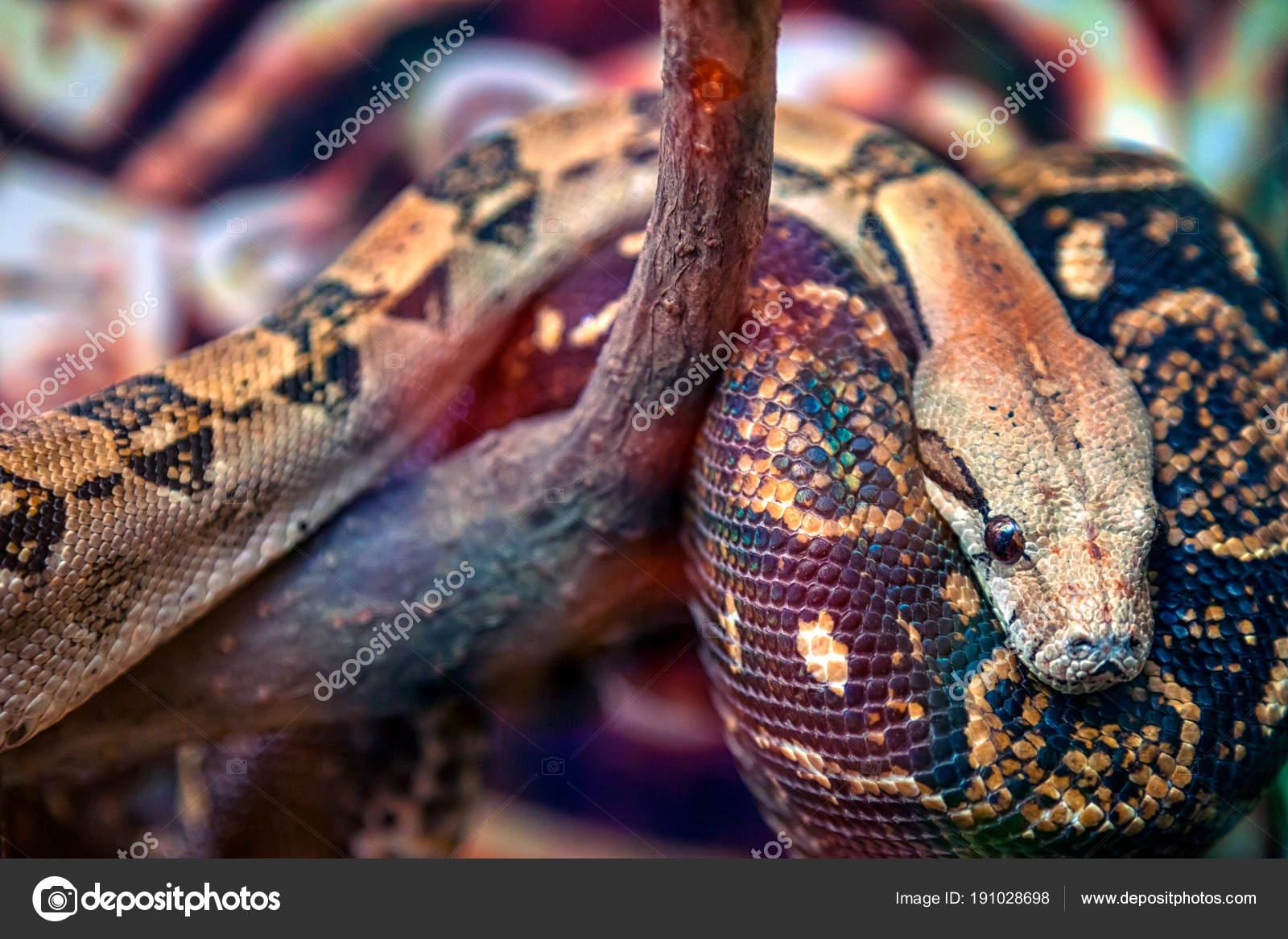 Primer Plano Gran Pitón Verde Marrón Pythonidae Con Ojos Negros ...