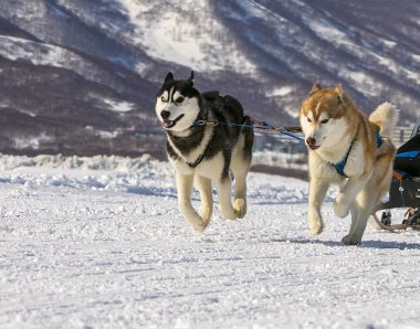 dogs team running in the snow on Kamchatka.