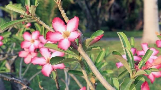 Pink azalea flower Sunshine. Pink Bignonia with Beautiful pink flower.