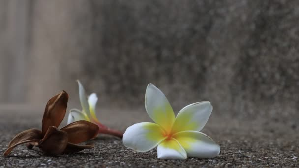 Beautiful sweet Plumeria flowers, blooming, concept for background texture. Vintage and natural background. close up flower. falling on the floor.