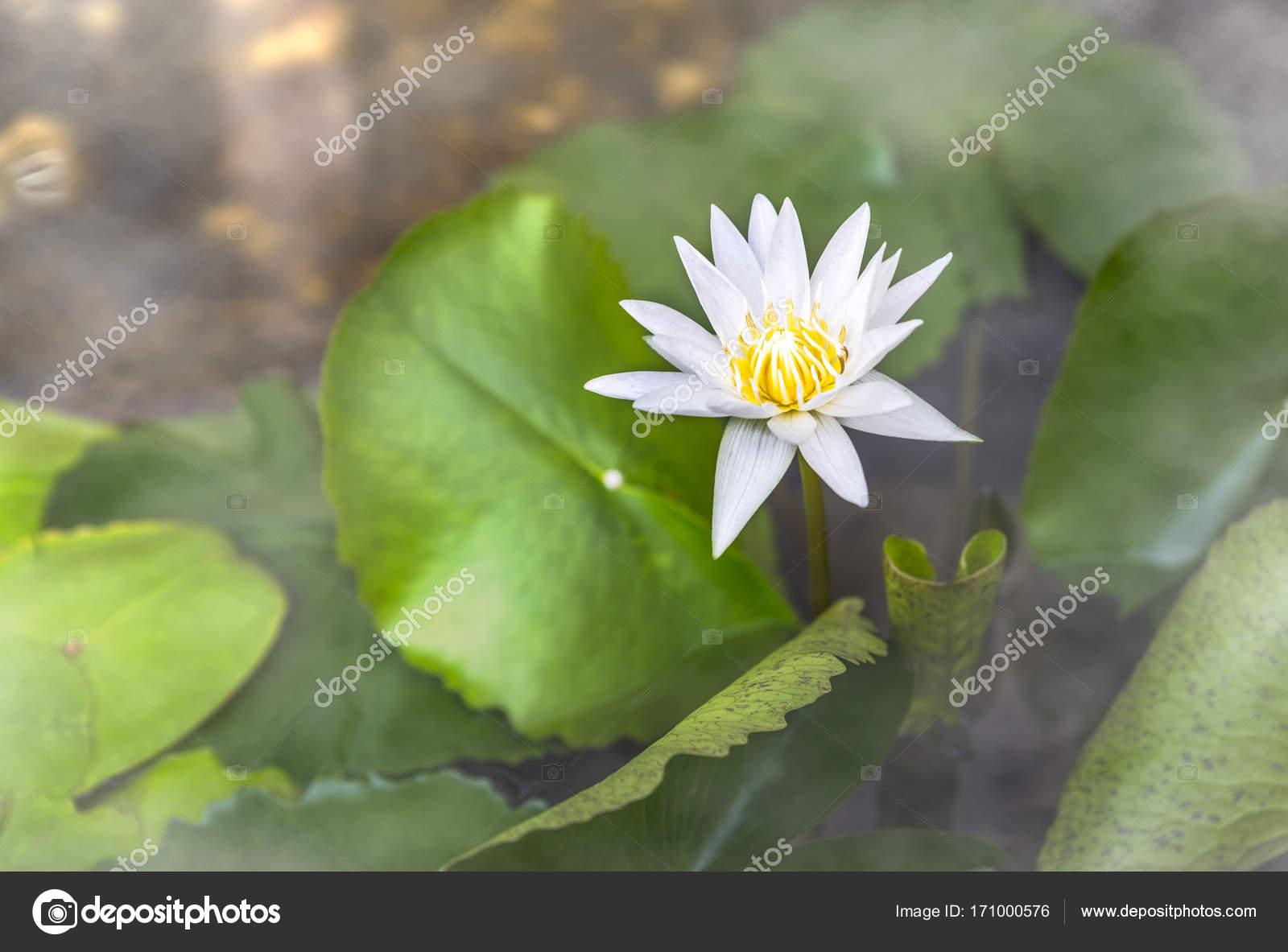 One White Lotus Flower In Fog Stock Photo Somdul 171000576