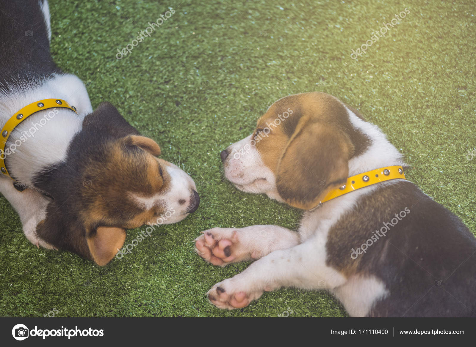 Cute beagle puppy sleeping or two puppy beagle dog sleeping cute beagle puppy sleeping or two puppy beagle dog sleeping photo by somdul voltagebd Image collections