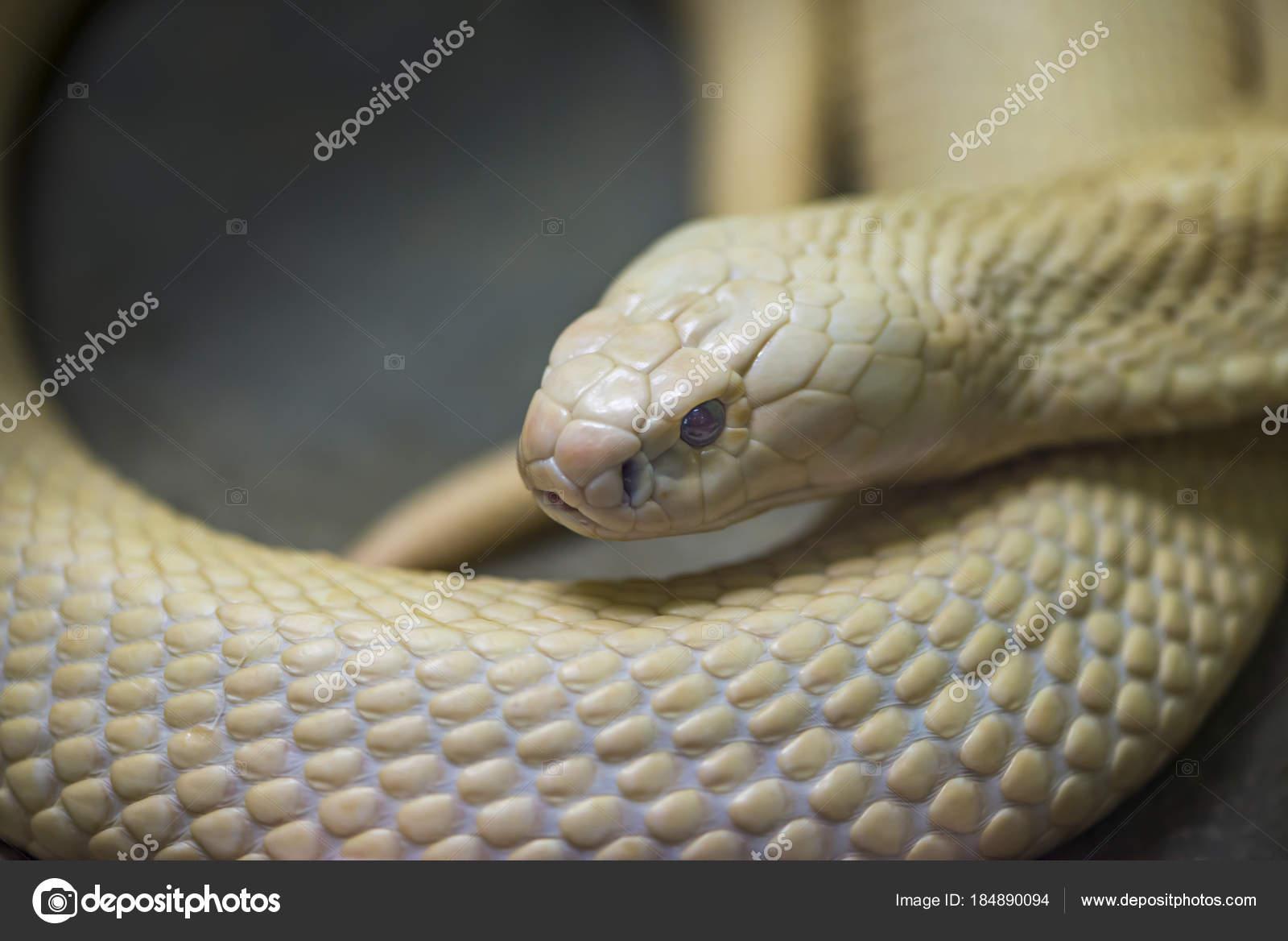 Cerca de una serpiente blanca — Fotos de Stock © somdul  184890094 993ff697d331