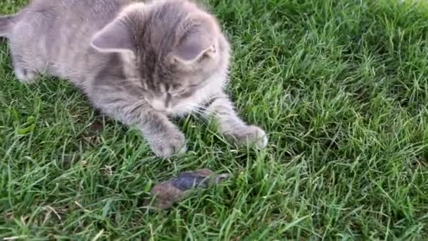 Kitten hunts the mouse