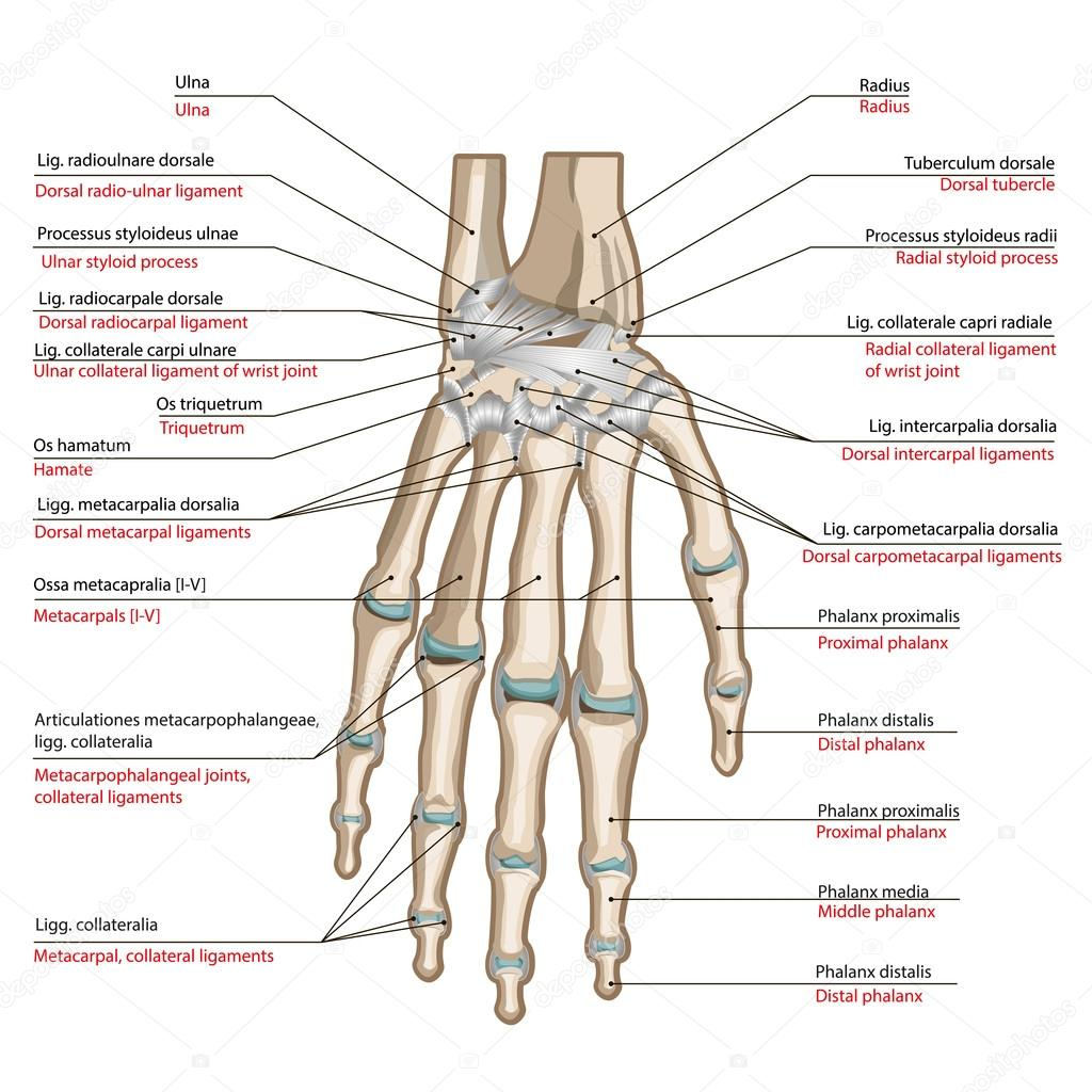 bones and ligaments of the back side of the hand– stock illustration