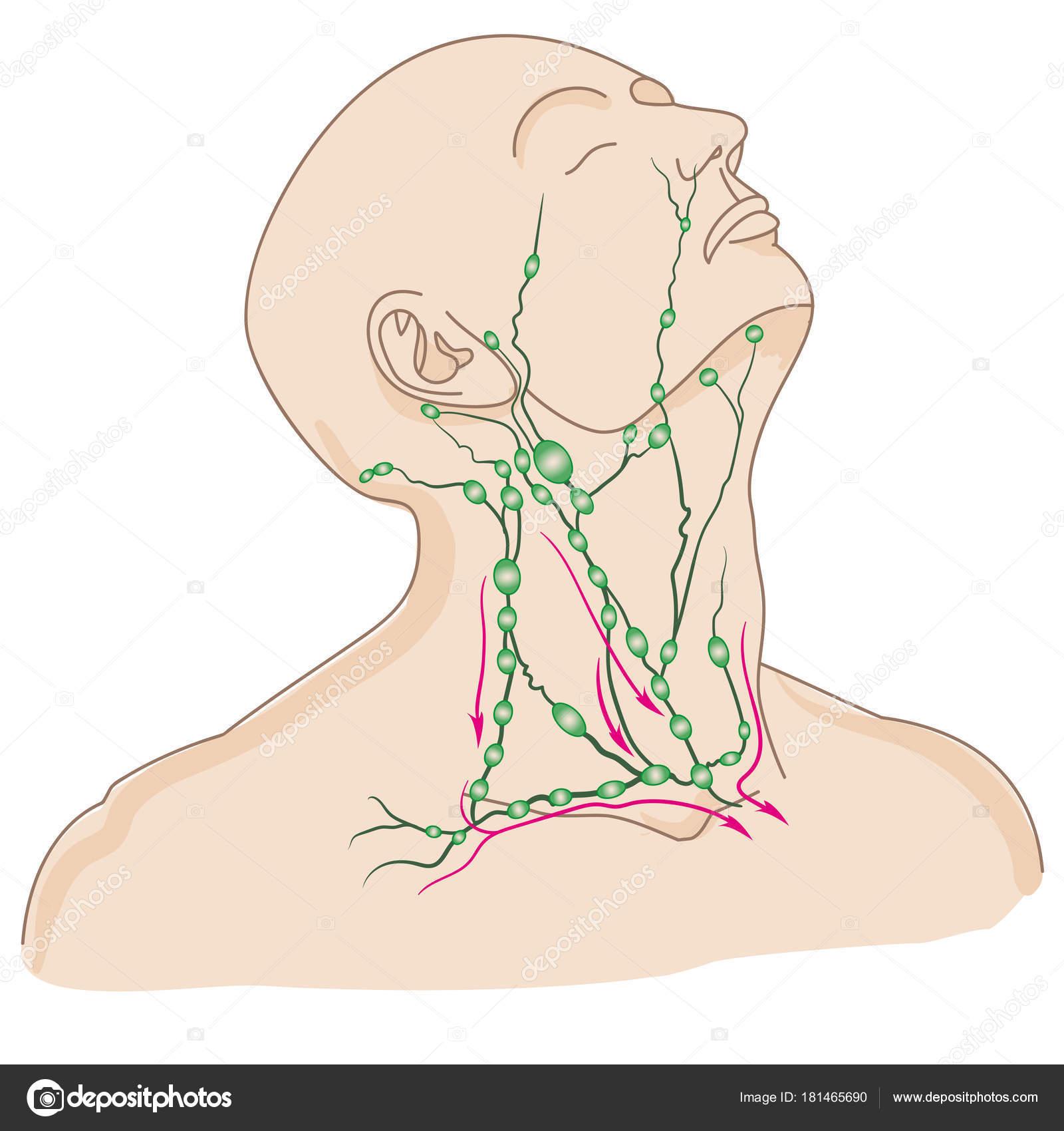 Großzügig Hals Anatomie Bilder Lymphknoten Bilder - Anatomie Und ...